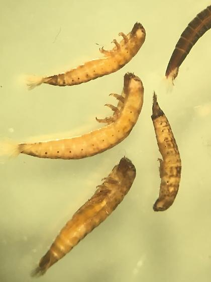 Lutrochus Larvae - Lutrochus