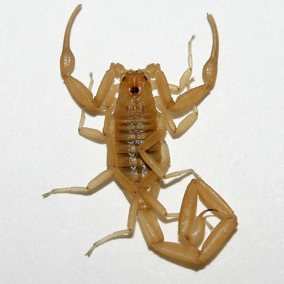 Scorpion - Centruroides sculpturatus