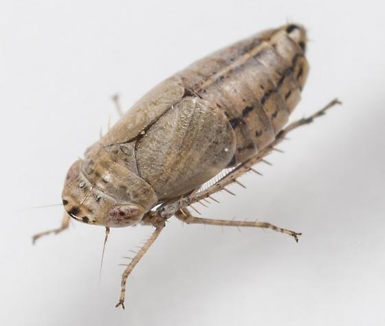 Leafhopper - Doratura stylata - male
