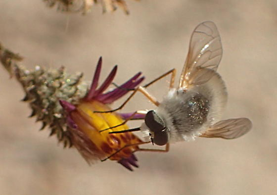 Is this some kind of bee-fly? - Lordotus