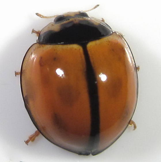 Unknown Coccinellidae - Coelophora inaequalis