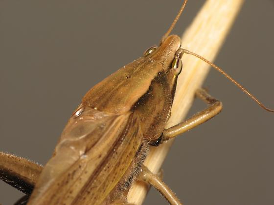 Conehead Katydid - Neoconocephalus triops - male