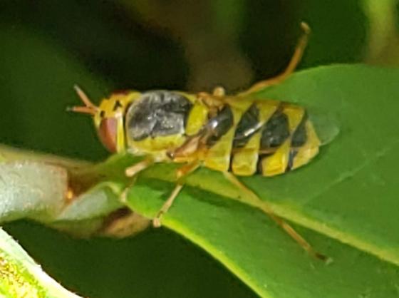 Odontomyia? - Odontomyia cincta