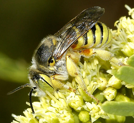 Trachusa (Heteranthidium) larreae on Honey Mesquite 1 May 2008 Sentenac Cienega, ABDSP, CA - Trachusa larreae - male