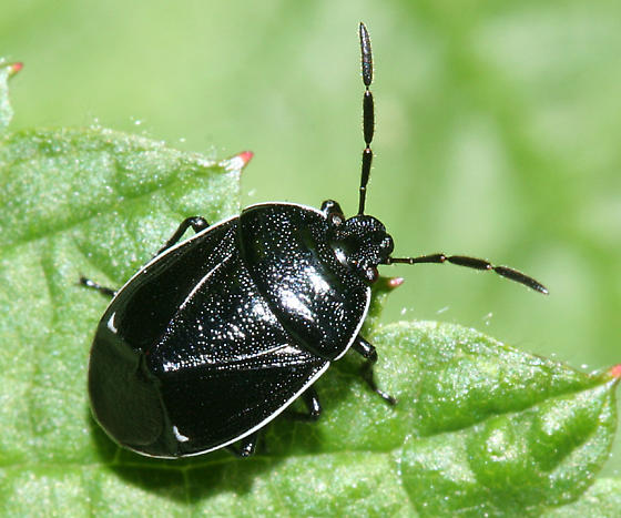 White-margined Burrower Bug - Sehirus cinctus