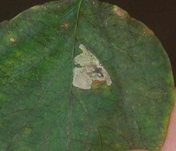 Hood River leaf miner on Lonicera HR12 2017 1