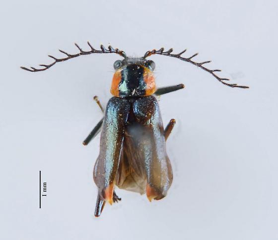 Malachius? - Malachius capillicornis - male