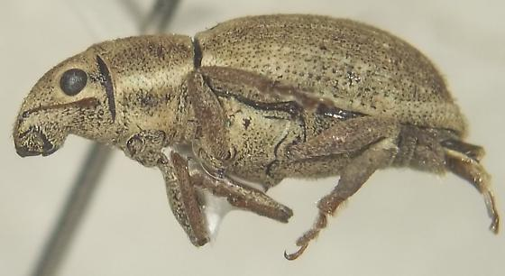 Naupactus godmanni (Crotch) - Naupactus - female
