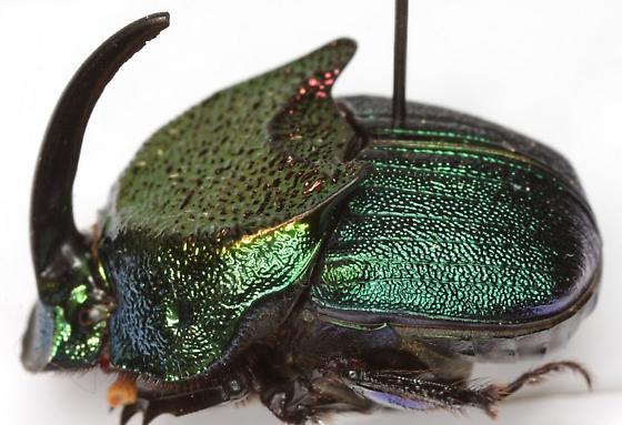 Phanaeus difformis LeConte - Phanaeus difformis - male