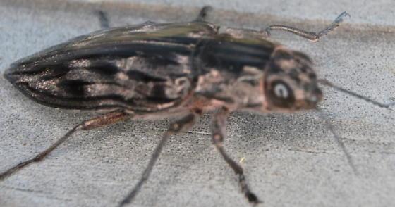 Buprestid - Chalcophora virginiensis