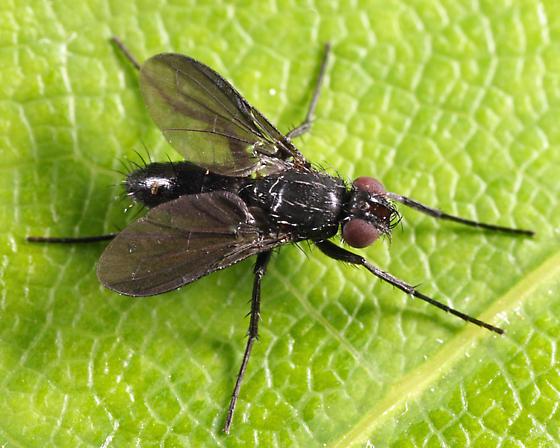 Tachinid? - Melanophora roralis
