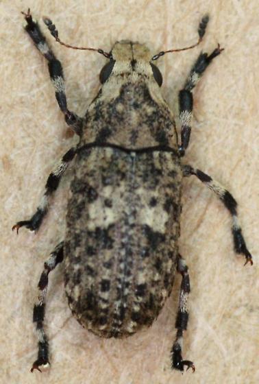 Anthribidae > - Euparius marmoreus