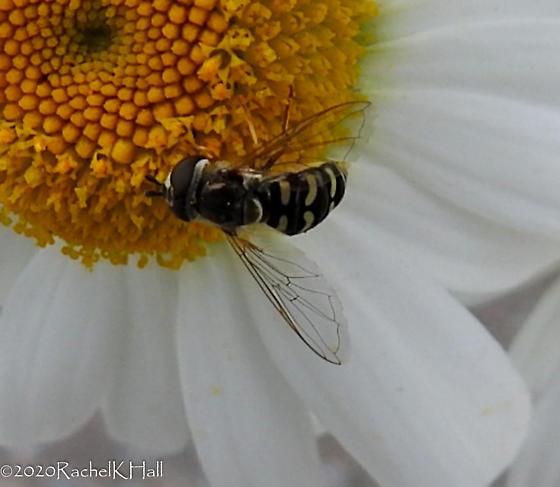 New Flower Fly in my Garden - Eupeodes volucris