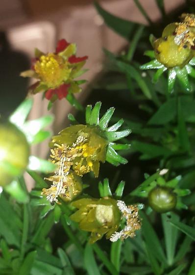 Synchlora aerata, eggs to moths - Synchlora aerata