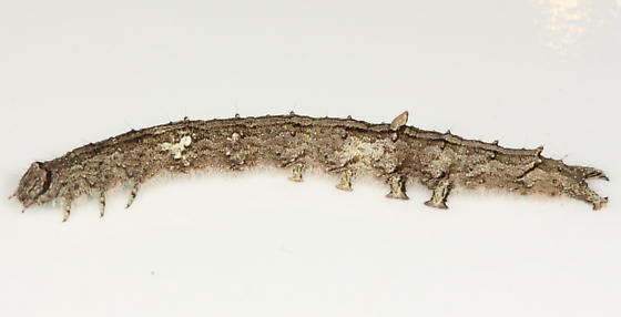 Gray caterpillar - Catocala