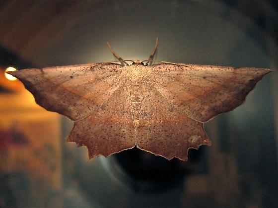 Obtuse Euchlaena - Hodges #6726 - Euchlaena obtusaria