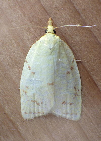 Tortricidae: Cenopis pettitana - Cenopis pettitana