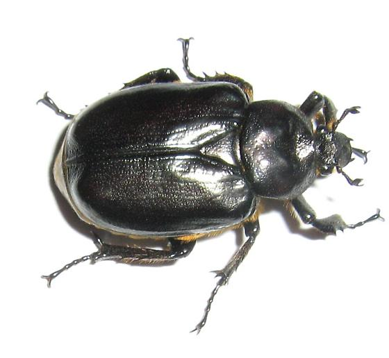 Beetle found on porch of old house in Eastern North Dakota