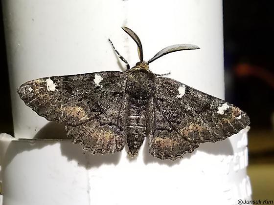 Moth - Phaeoura quernaria - male
