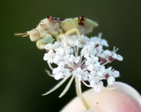 Bug found on Queen Anne's Lace in Vermont eating Honey Bee - Phymata americana