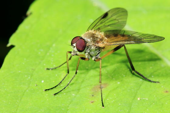 Snipe Fly - Rhagio lineola - male