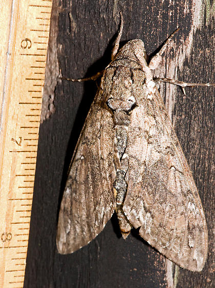 Big Moth - Manduca sexta