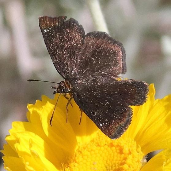 butterfly, dark brown