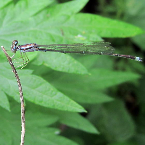 Damsel with blue tail - Enallagma signatum - male
