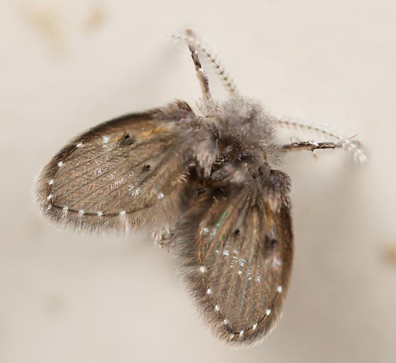 Moth Fly - Clogmia