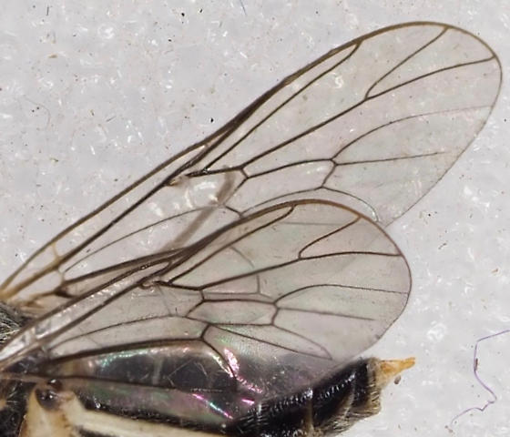 Unknown Fly - Solva