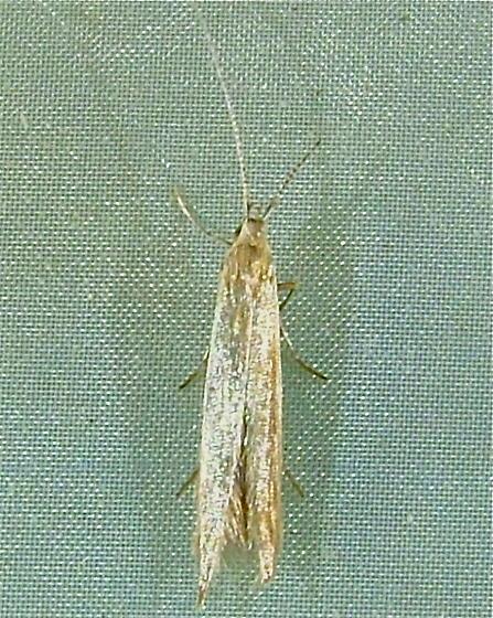 Coleophora glaucicolella - Silk Casebearer 1378 - Coleophora glaucicolella
