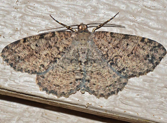 ? - Melanolophia canadaria - male