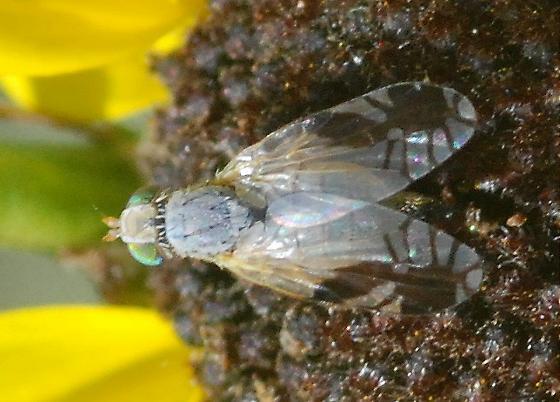 Tep*hritis, right? Nope - Trupanea nigricornis
