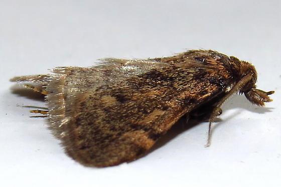 Small Moth - Aglossa pinguinalis