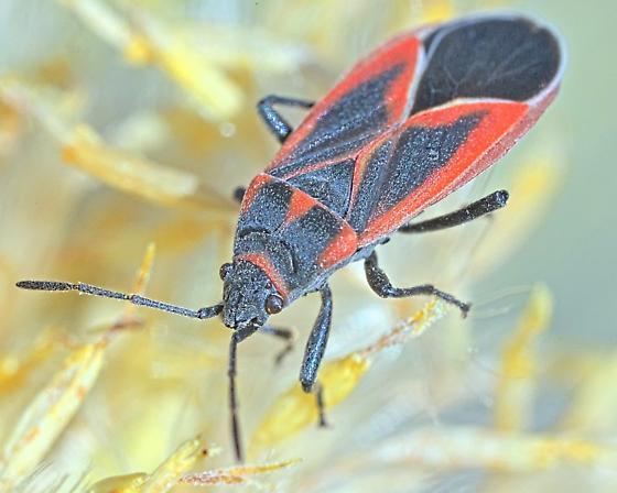 Bug ~7mm - Melacoryphus