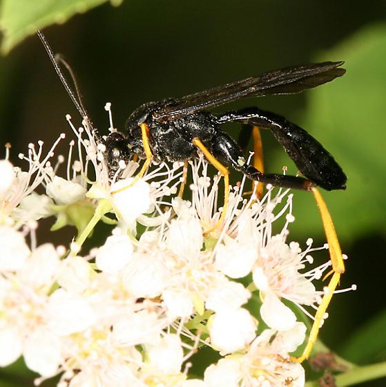 Ichneumon wasp - Exetastes suaveolens - male