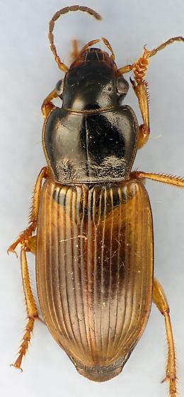larger Carabid #5 - Anisodactylus sanctaecrucis