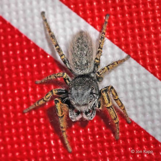 Jumping Spider - Phidippus mystaceus