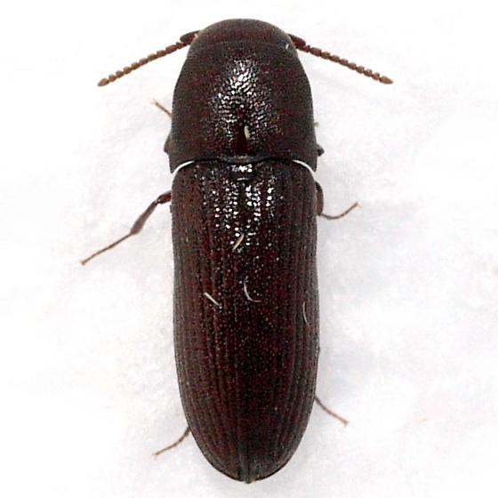 beetle - Stethon pectorosus