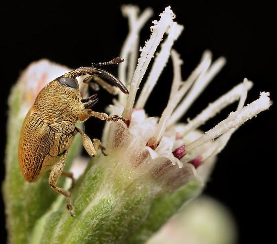 Coleoptera - Geraeus picumnus - male