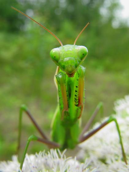 Praying Mantis - Just before final molt - Mantis religiosa