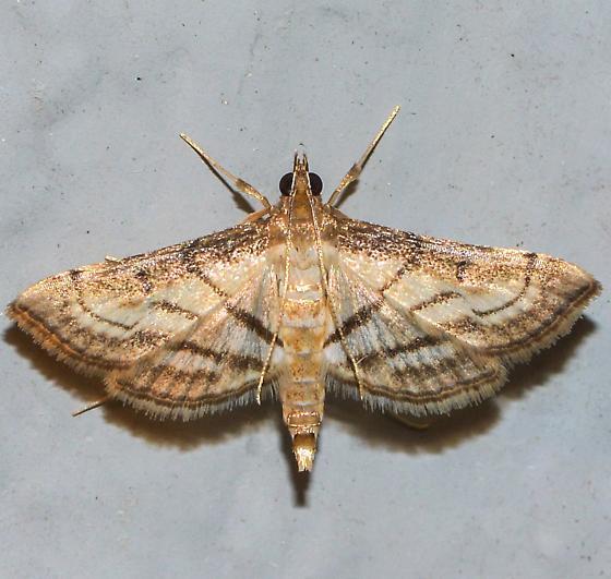 Cnaphalocrocis trapezalis - Trapeze Moth for Louisiana for September - Cnaphalocrocis trapezalis