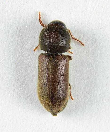Eucnemid? - Ptilinus - female