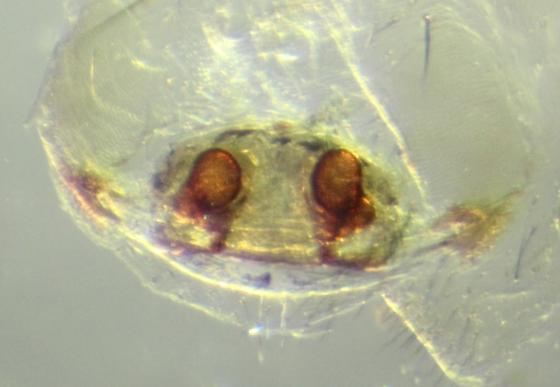 Linyphiid--voucher image - Grammonota inornata - female