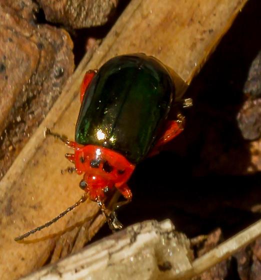 glossy black Beetle on ground - black spots on red thorax - Kuschelina gibbitarsa