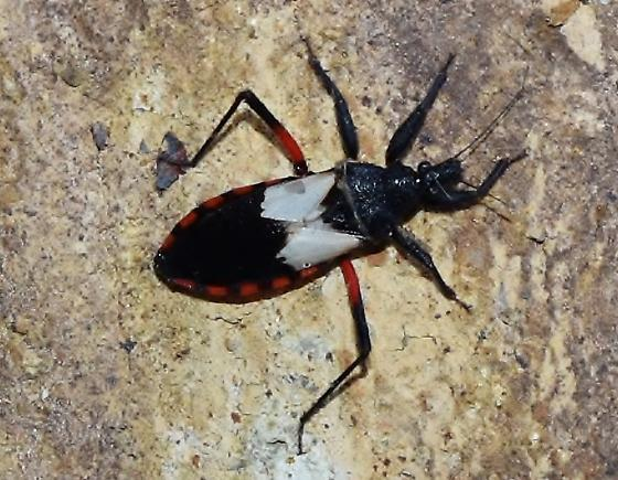 Mystery Insect - Microtomus purcis