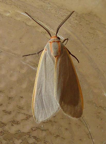 Yellow-edged Pygarctia - Hodges#8255 (Pygarctia abdominalis) - Pygarctia abdominalis