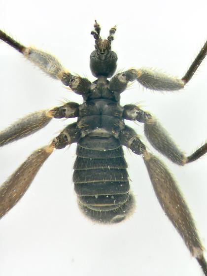 Snow Fly, ventralX - Chionea stoneana - male