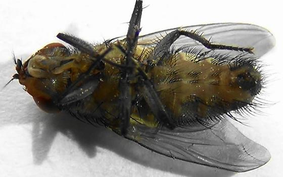 Sexing Flies in the Genus Lucilia (ventral) - Lucilia - male