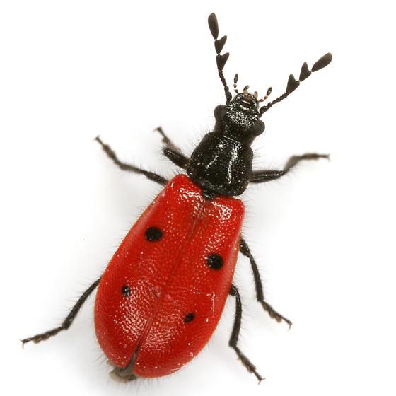 Pelonides quadripunctata (Say) - Pelonides quadripunctata - female